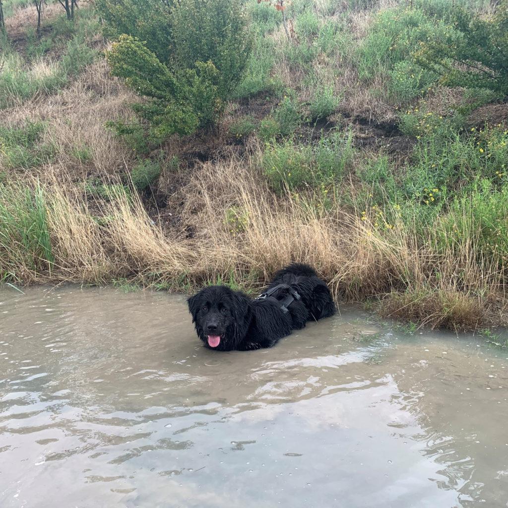 Bürohund im Wasser